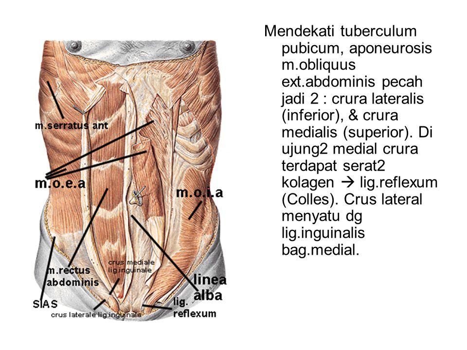 Mendekati tuberculum pubicum, aponeurosis m.obliquus ext.abdominis pecah jadi 2 : crura lateralis (inferior), & crura medialis (superior). Di ujung2 m