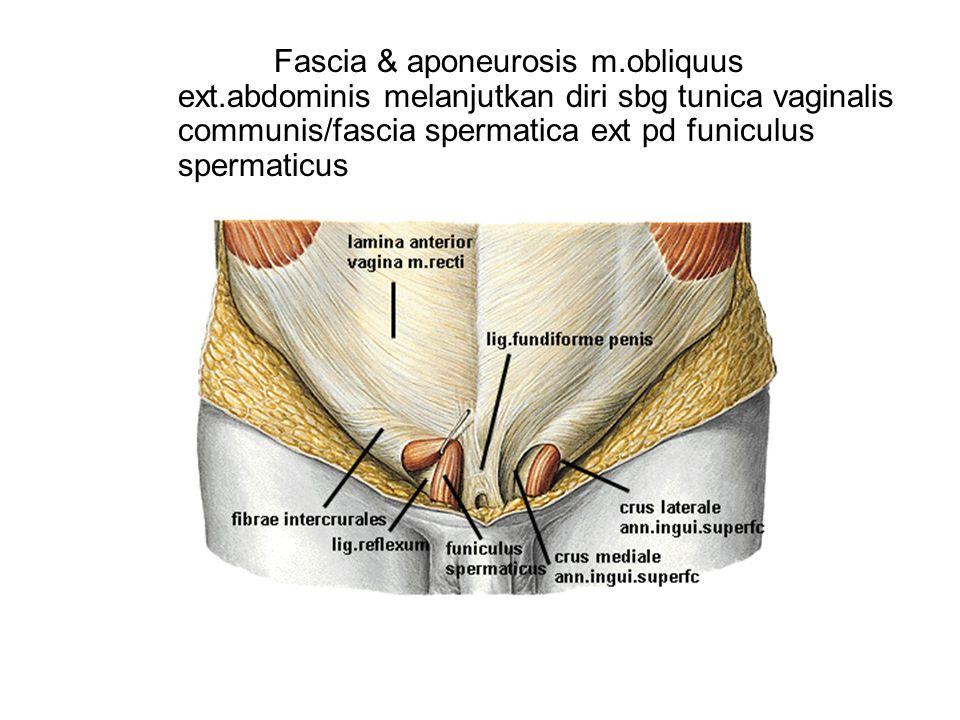 Fascia & aponeurosis m.obliquus ext.abdominis melanjutkan diri sbg tunica vaginalis communis/fascia spermatica ext pd funiculus spermaticus