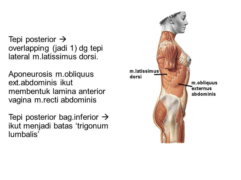 Tepi posterior  overlapping (jadi 1) dg tepi lateral m.latissimus dorsi. Aponeurosis m.obliquus ext.abdominis ikut membentuk lamina anterior vagina m