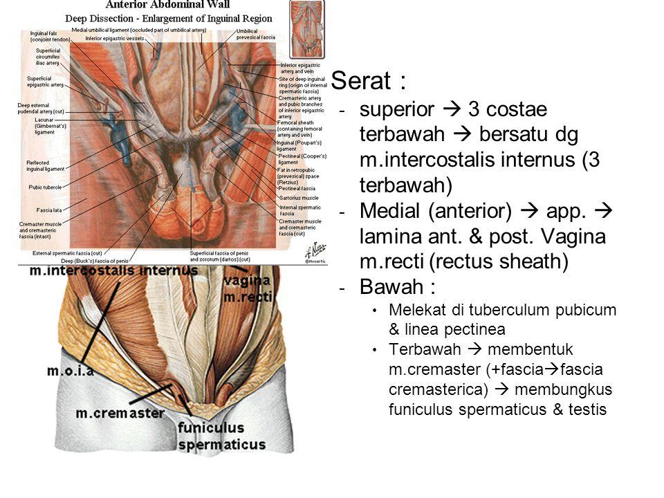 Serat : - superior  3 costae terbawah  bersatu dg m.intercostalis internus (3 terbawah) - Medial (anterior)  app.  lamina ant. & post. Vagina m.re