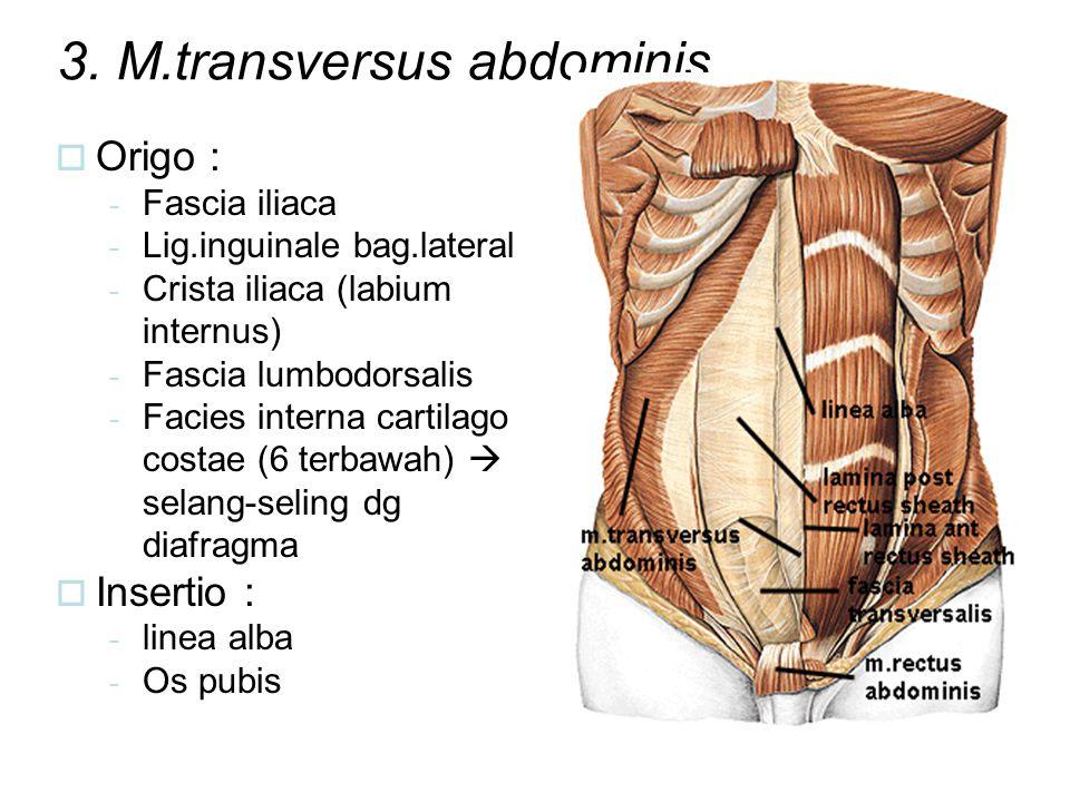 3. M.transversus abdominis  Origo : - Fascia iliaca - Lig.inguinale bag.lateral - Crista iliaca (labium internus) - Fascia lumbodorsalis - Facies int