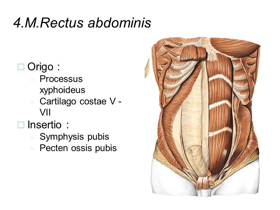 4.M.Rectus abdominis  Origo : - Processus xyphoideus - Cartilago costae V - VII  Insertio : - Symphysis pubis - Pecten ossis pubis