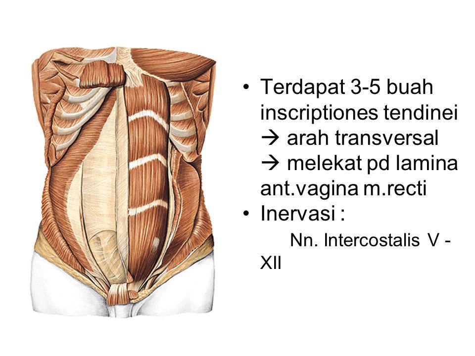 Terdapat 3-5 buah inscriptiones tendinei  arah transversal  melekat pd lamina ant.vagina m.recti Inervasi : Nn. Intercostalis V - XII