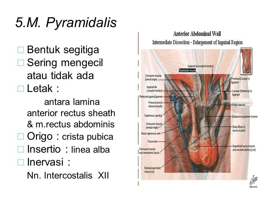 5.M. Pyramidalis  Bentuk segitiga  Sering mengecil atau tidak ada  Letak : antara lamina anterior rectus sheath & m.rectus abdominis  Origo : cris