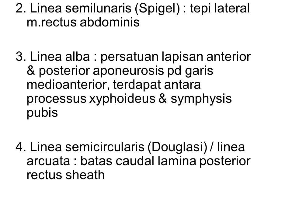 2. Linea semilunaris (Spigel) : tepi lateral m.rectus abdominis 3. Linea alba : persatuan lapisan anterior & posterior aponeurosis pd garis medioanter