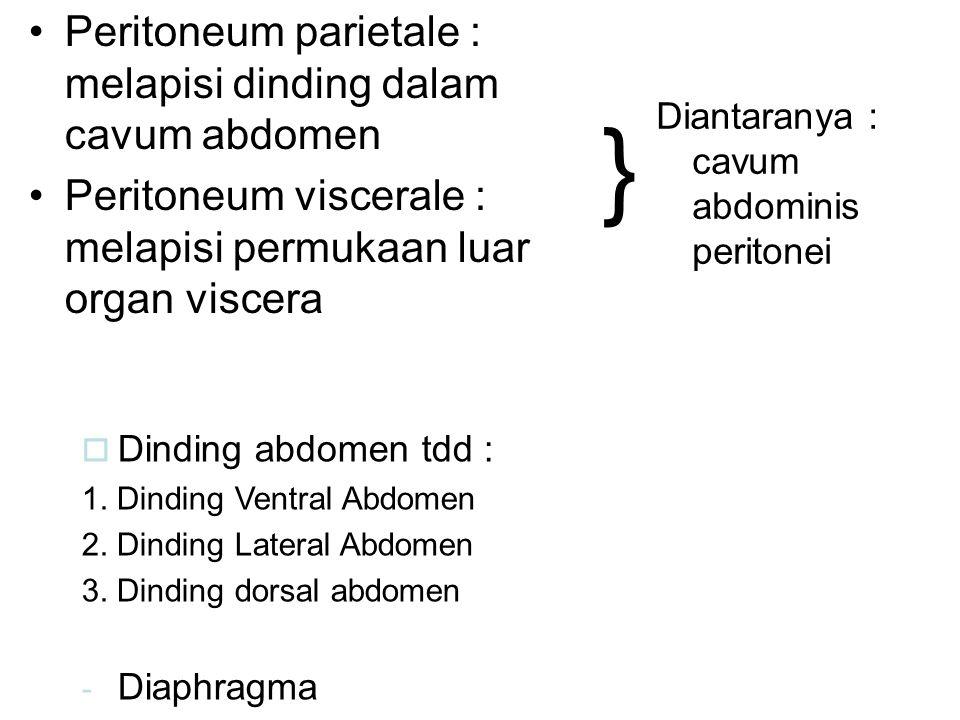 Peritoneum parietale : melapisi dinding dalam cavum abdomen Peritoneum viscerale : melapisi permukaan luar organ viscera } Diantaranya : cavum abdomin