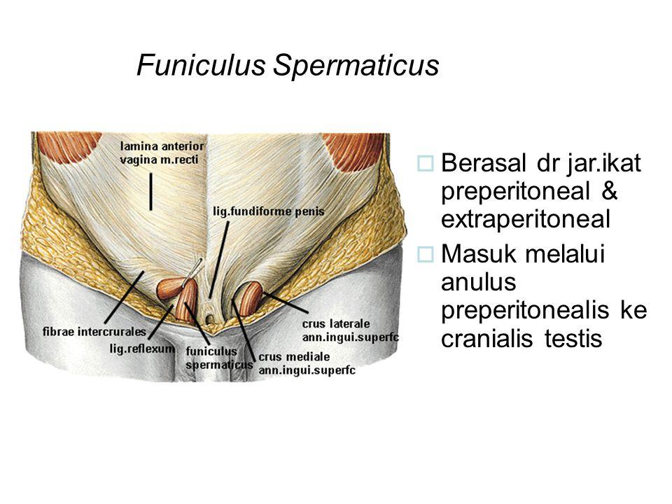 Funiculus Spermaticus  Berasal dr jar.ikat preperitoneal & extraperitoneal  Masuk melalui anulus preperitonealis ke cranialis testis