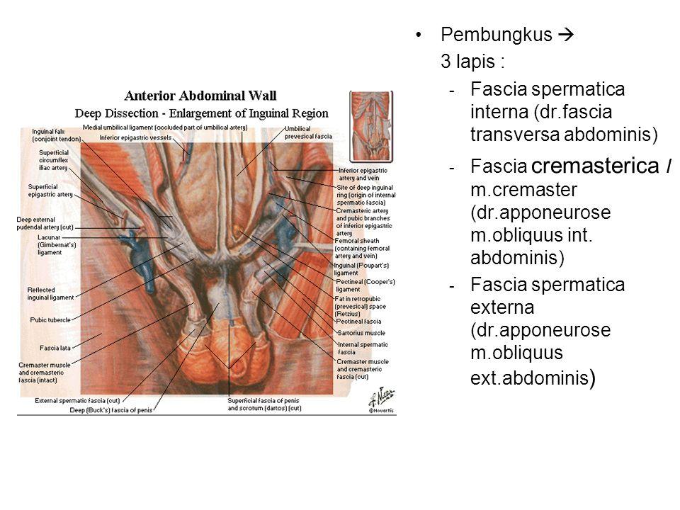 Pembungkus  3 lapis : - Fascia spermatica interna (dr.fascia transversa abdominis) - Fascia cremasterica / m.cremaster (dr.apponeurose m.obliquus int