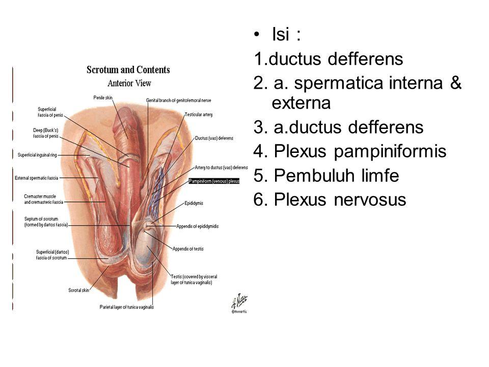 Isi : 1.ductus defferens 2. a. spermatica interna & externa 3. a.ductus defferens 4. Plexus pampiniformis 5. Pembuluh limfe 6. Plexus nervosus