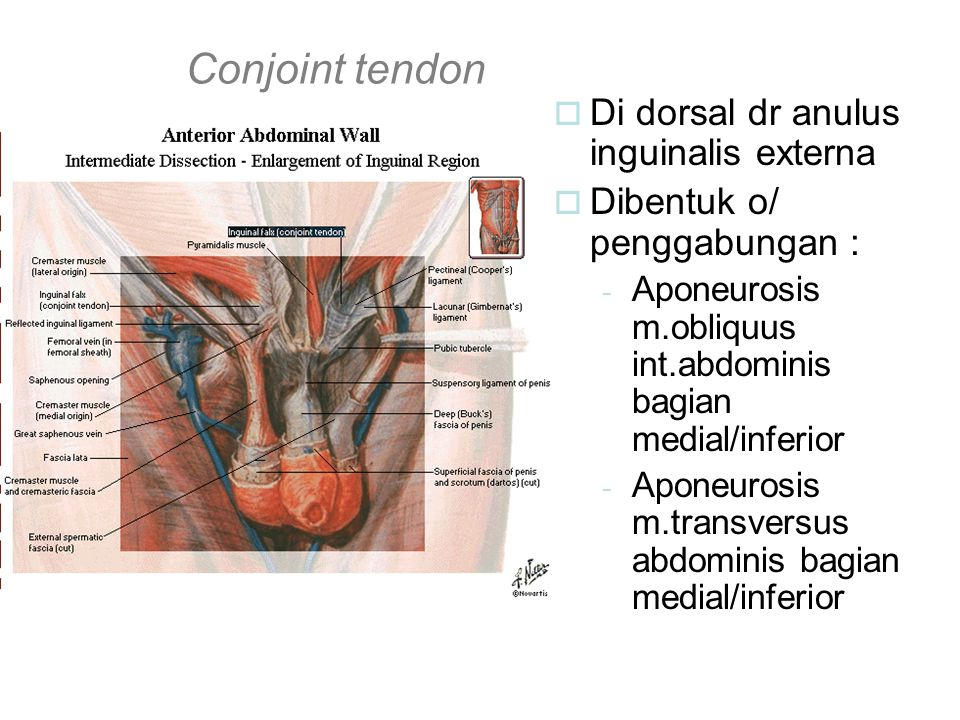 Conjoint tendon  Di dorsal dr anulus inguinalis externa  Dibentuk o/ penggabungan : - Aponeurosis m.obliquus int.abdominis bagian medial/inferior -