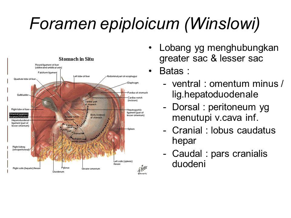 Foramen epiploicum (Winslowi) Lobang yg menghubungkan greater sac & lesser sac Batas : -ventral : omentum minus / lig.hepatoduodenale -Dorsal : perito