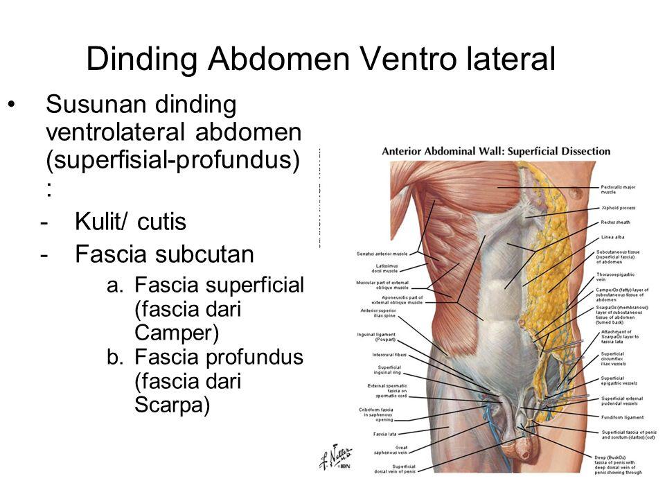 Susunan dinding ventrolateral abdomen (superfisial-profundus) : -Kulit/ cutis -Fascia subcutan a.Fascia superficial (fascia dari Camper) b.Fascia prof