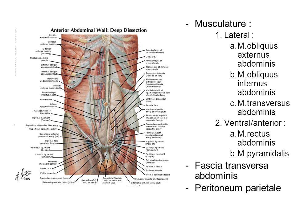 -Musculature : 1. Lateral : a.M.obliquus externus abdominis b.M.obliquus internus abdominis c.M.transversus abdominis 2. Ventral/anterior : a.M.rectus