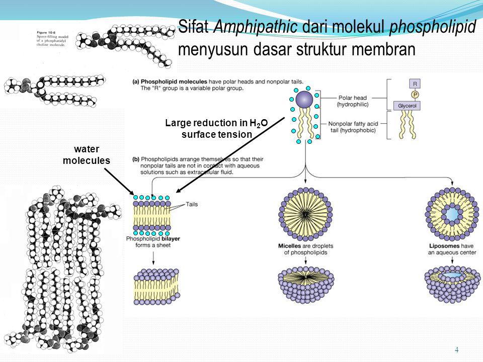 Karakteristik Protein Integral dan Peripheral Membrane : Karakteristik Protein Integral Protein Peripheral Lokasi dlm membran tertanam dlm hydrophobic terikat pd permukaan interior membran membran Kebutuhan untuk dilepas hanya oleh agent dilepas dgn treatments melepas dari membrane yang merusak bilayer yg menyisakan bilayer utuh membran, spt detergent seperti peningkatan konsentrasi garam Asosiasi dgn lipid biasanya berasosiasi dgn tdk berasosiasi dgn bila dilepas lipid lipids Kelarutan biasanya tidak larut biasanya larut dalam dalam media air media air 15