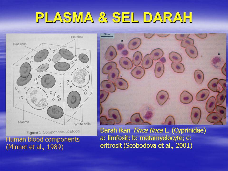 PLASMA & SEL DARAH Darah ikan Tinca tinca L. (Cyprinidae) a: limfosit; b: metamyelocyte; c: eritrosit (Scobodova et al., 2001) Human blood components