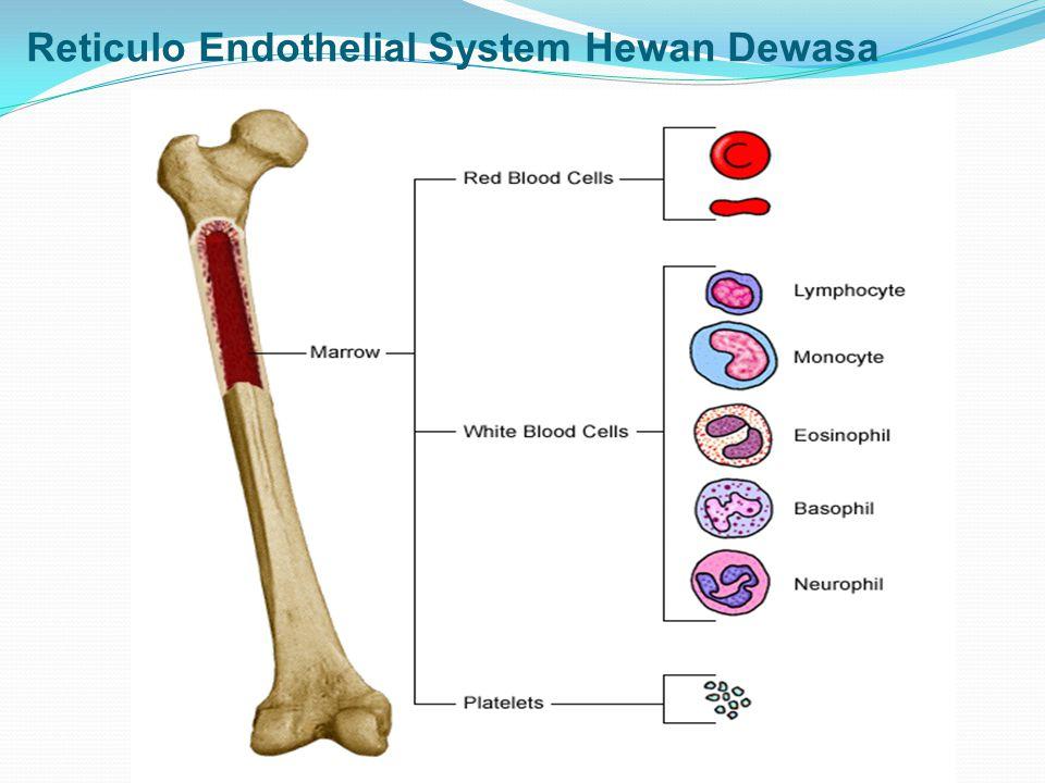 Reticulo Endothelial System Hewan Dewasa