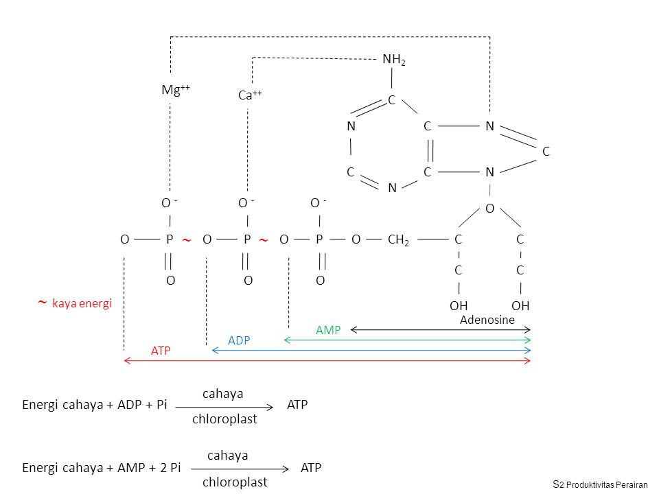 Energi cahaya + ADP + Pi ATP Energi cahaya + AMP + 2 Pi ATP cahaya chloroplast cahaya chloroplast Mg ++ NH 2 Ca ++ C C CC N N C N N O C OH C C C CH 2 OP O - O OP ~~ O OP O O ~ kaya energi Adenosine AMP ADP ATP S 2 Produktivitas Perairan
