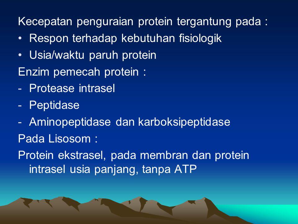 Pada Sitosol: Protein berusia pendek, perlu ATP dan Ubikuitin Katabolisme atom Nitrogen/Amina : 1.