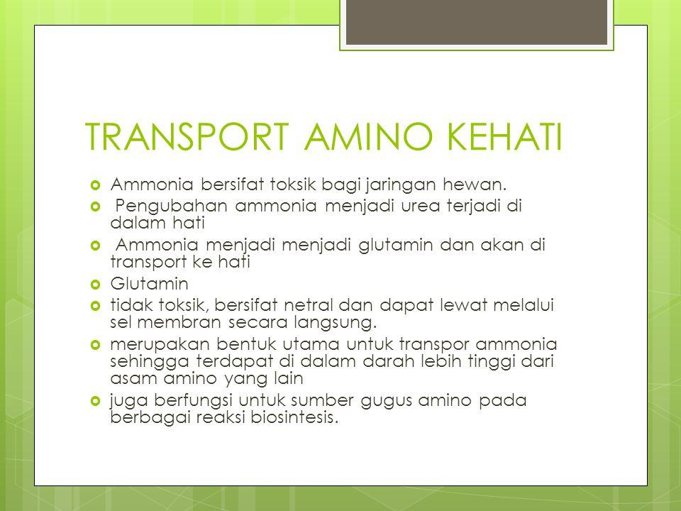 TRANSPORT AMINO KEHATI  Ammonia bersifat toksik bagi jaringan hewan.  Pengubahan ammonia menjadi urea terjadi di dalam hati  Ammonia menjadi menjad