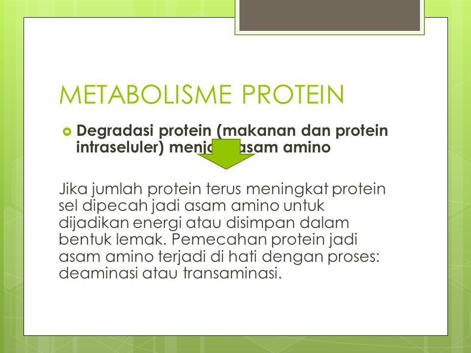METABOLISME PROTEIN  Degradasi protein (makanan dan protein intraseluler) menjadi asam amino Jika jumlah protein terus meningkat protein sel dipecah