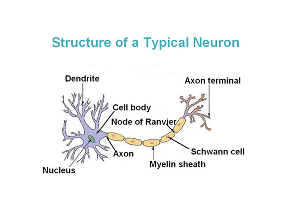 Neuron, Sinapsis dan Perilaku Neuron terdiri atas badan sel, dendrit dan sebuah akson Akson berfungsi untuk menyampaikan informasi dari satu neuron ke neuron yang lain Panjangnya akson disesuaikan dengan tinggi/panjangnya makhluk hidup Orang pendek akan merasakan tekanan pada jari kakinya secara lebih cepat, dibandingkan dengan orang yang tinggi