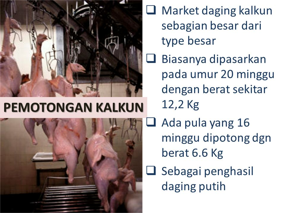 PEMOTONGAN KALKUN  Market daging kalkun sebagian besar dari type besar  Biasanya dipasarkan pada umur 20 minggu dengan berat sekitar 12,2 Kg  Ada pula yang 16 minggu dipotong dgn berat 6.6 Kg  Sebagai penghasil daging putih
