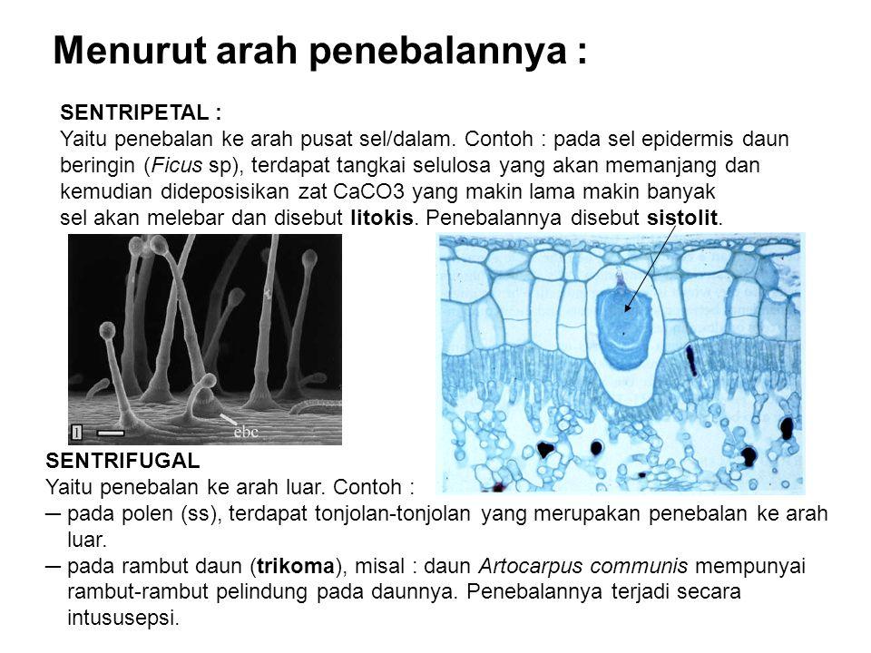 Menurut arah penebalannya : SENTRIPETAL : Yaitu penebalan ke arah pusat sel/dalam.