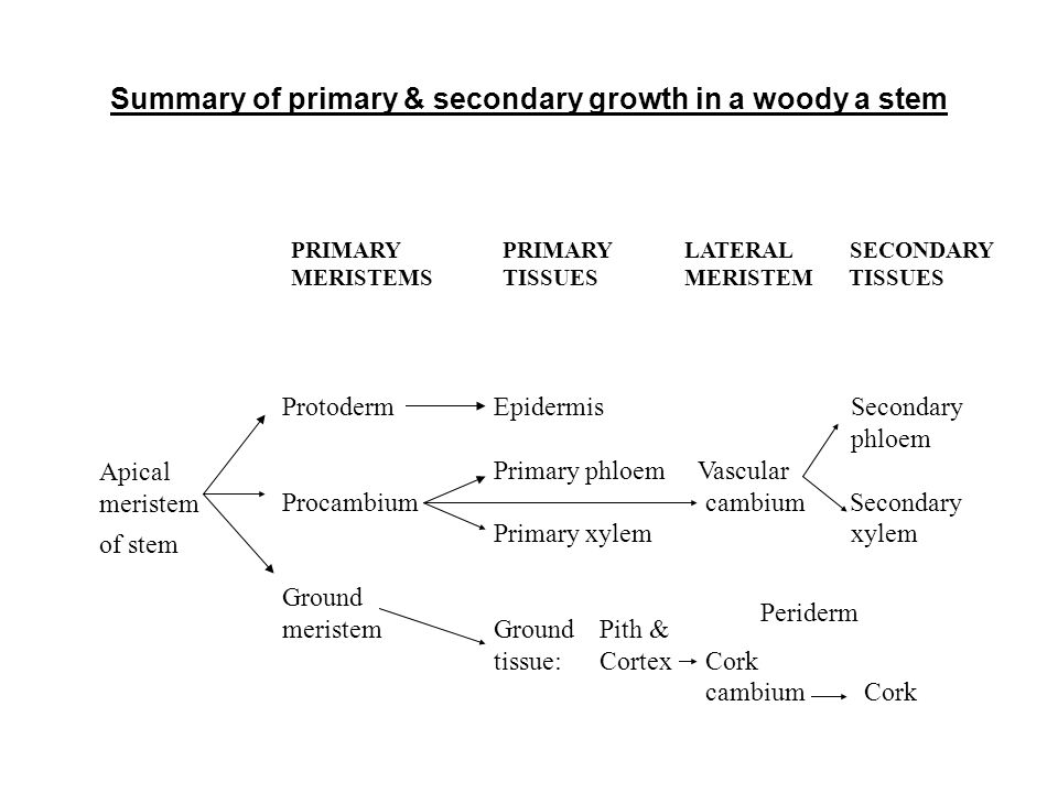 Summary of primary & secondary growth in a woody a stem Apical meristem of stem PRIMARY PRIMARY LATERAL SECONDARY MERISTEMSTISSUES MERISTEM TISSUES Pr