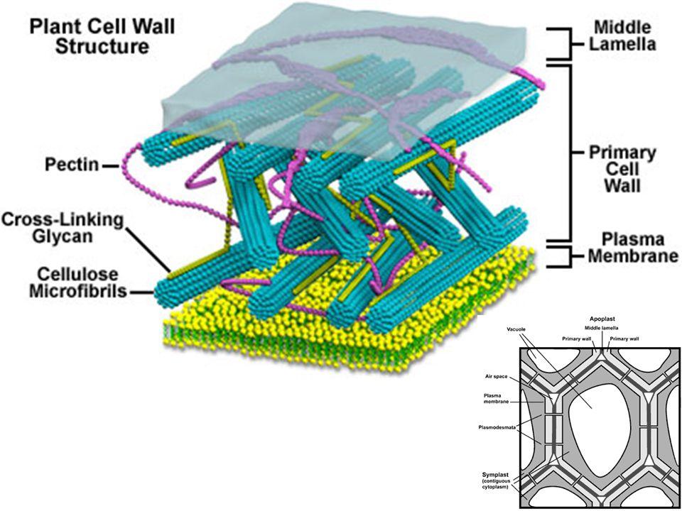 Karakter Dinding Sel Tumbuhan - Fleksible dan terkadang sangat padat - Posisi di luar membran sel - Sebagai pendukung, pelindung, penyaring, dan sebagai penekan pembuluh untuk mencegah over expansion saat air masuk sel - Fleksible dan terkadang sangat padat - Dinding primer bersifat semipermeabel,