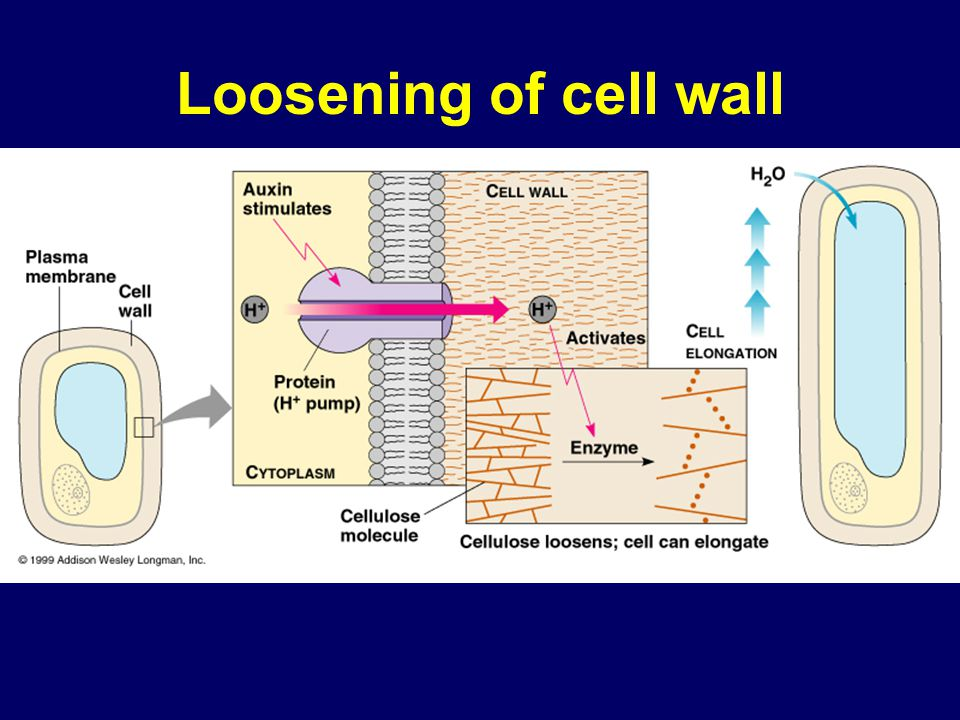 Expansin CELL WALL Cell wall enzymes Cross-linking cell wall polysaccharides Microfibril H+H+ H+H+ H+H+ H+H+ H+H+ H+H+ H+H+ H+H+ H+H+ ATP Plasma membrane Plasma membrane Cell wall Nucleus Vacuole Cytoplasm H2OH2O Cell elongation in response to auxin 1 Auxin increases the activity of proton pumps.