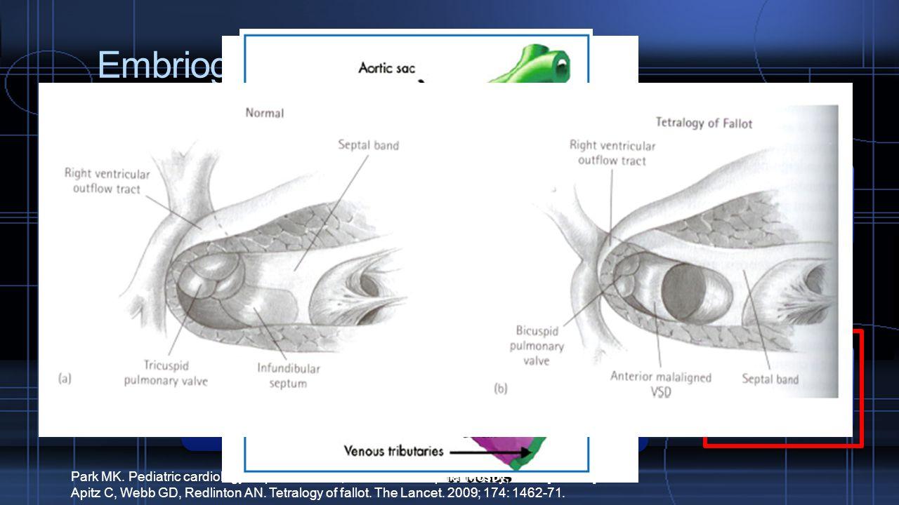 Embriogenesis Tuba bakal jantung Trunkus arteriosus Bulbus kordis Trunkus arteriosus akan mengalami perputaran 180 o Tumbuh ke arah bawah, menuju bulb