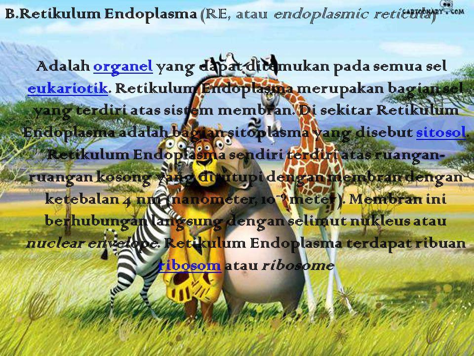 B.Retikulum Endoplasma (RE, atau endoplasmic reticula) Adalah organel yang dapat ditemukan pada semua sel eukariotik. Retikulum Endoplasma merupakan b