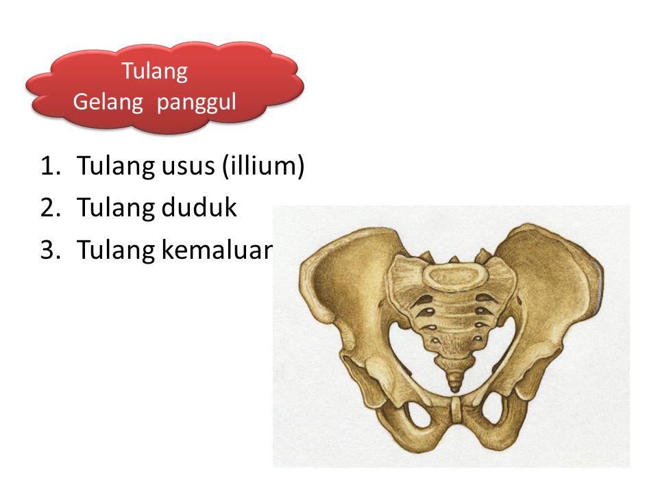 1.Tulang usus (illium) 2.Tulang duduk 3.Tulang kemaluan Tulang Gelang panggul Tulang Gelang panggul