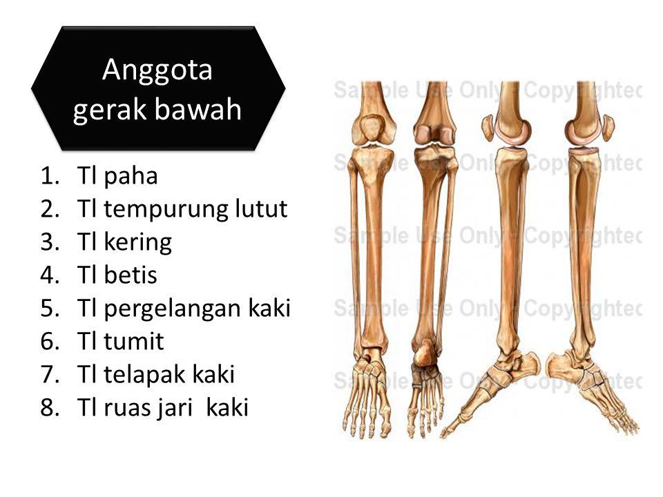 1.Tl paha 2.Tl tempurung lutut 3.Tl kering 4.Tl betis 5.Tl pergelangan kaki 6.Tl tumit 7.Tl telapak kaki 8.Tl ruas jari kaki Anggota gerak bawah