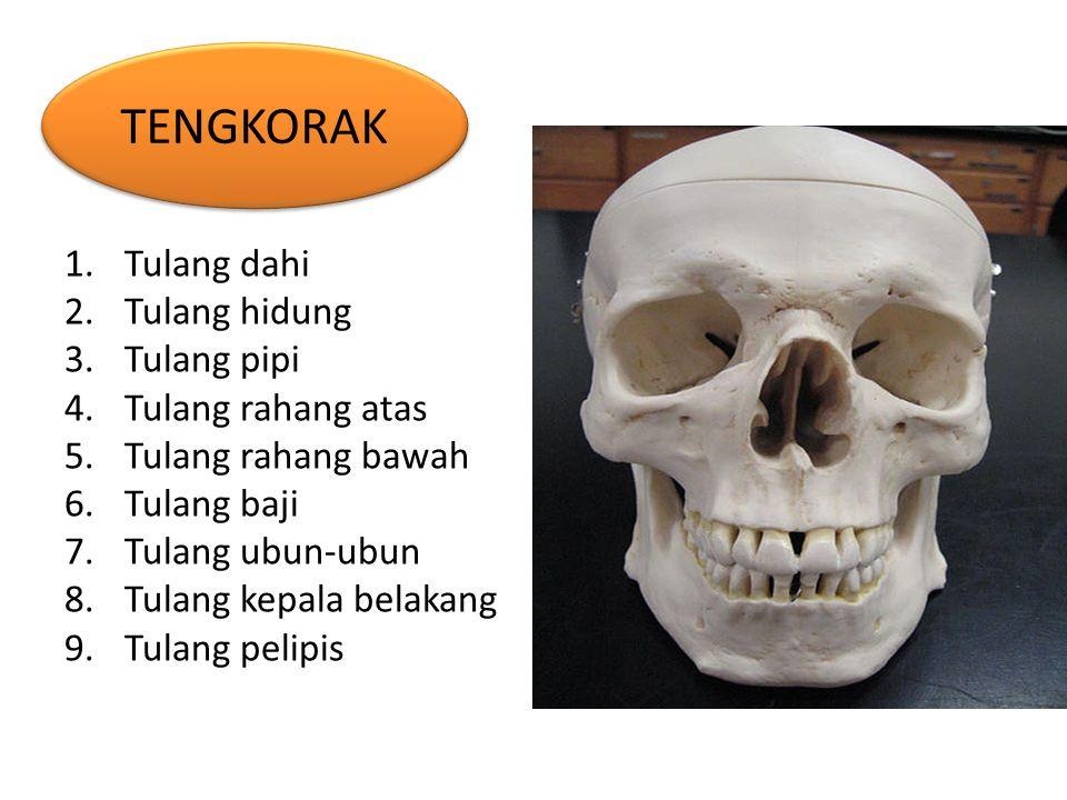 1.Tulang dahi 2.Tulang hidung 3.Tulang pipi 4.Tulang rahang atas 5.Tulang rahang bawah 6.Tulang baji 7.Tulang ubun-ubun 8.Tulang kepala belakang 9.Tul