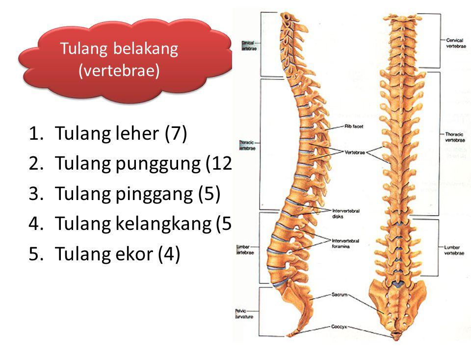 1.Tulang leher (7) 2.Tulang punggung (12) 3.Tulang pinggang (5) 4.Tulang kelangkang (5) 5.Tulang ekor (4) Tulang belakang (vertebrae)