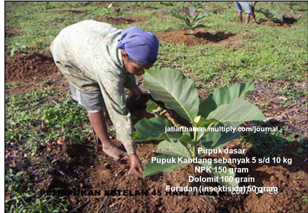 29 jatiarthamas.multiply.com/journal Pupuk dasar Pupuk Kandang sebanyak 5 s/d 10 kg NPK 150 gram Dolomit 100 gram Furadan (insektisida) 50 gram