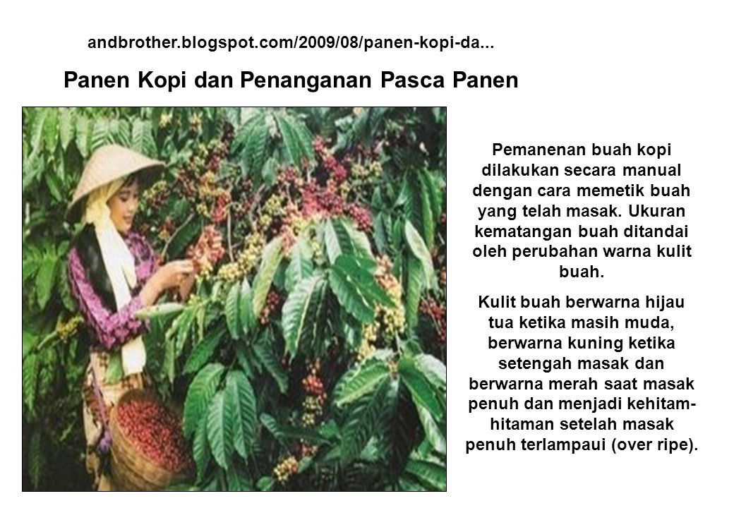 andbrother.blogspot.com/2009/08/panen-kopi-da... Panen Kopi dan Penanganan Pasca Panen Pemanenan buah kopi dilakukan secara manual dengan cara memetik
