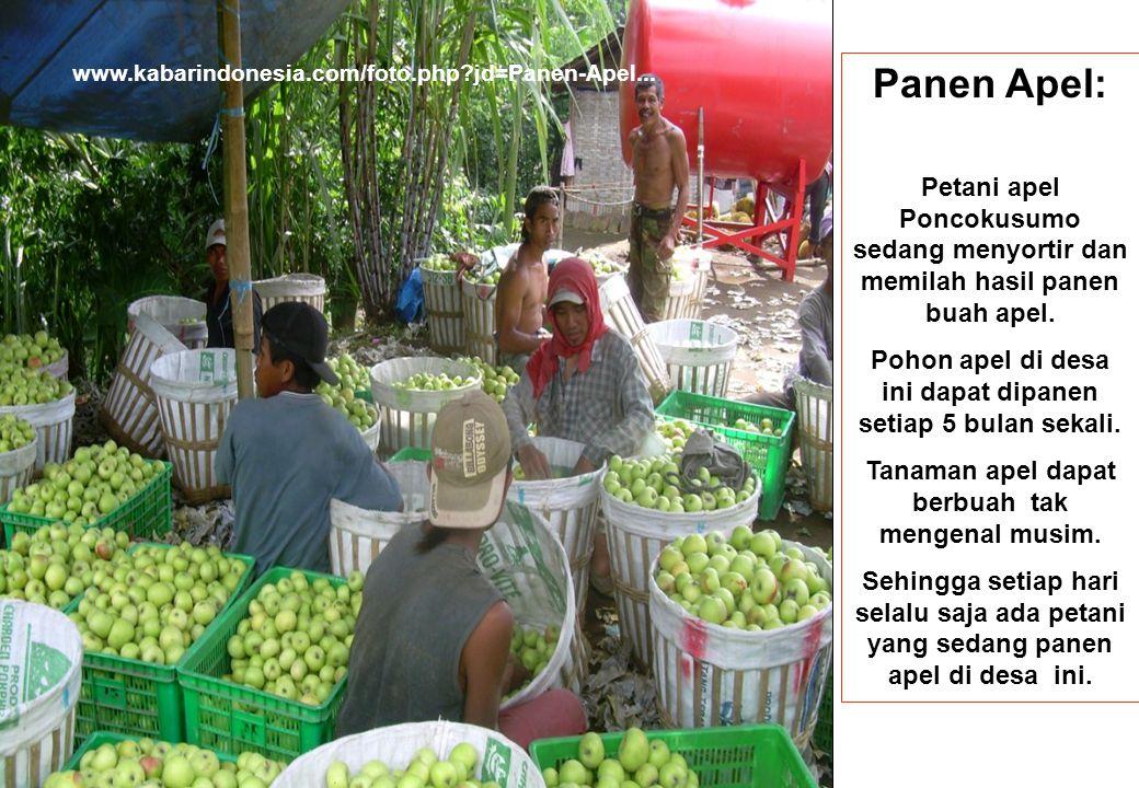 www.kabarindonesia.com/foto.php?jd=Panen-Apel... Panen Apel: Petani apel Poncokusumo sedang menyortir dan memilah hasil panen buah apel. Pohon apel di
