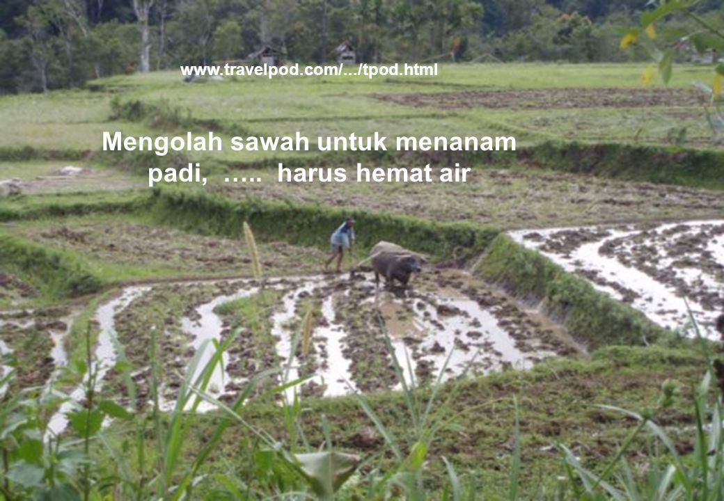 41 www.travelpod.com/.../tpod.html Mengolah sawah untuk menanam padi, ….. harus hemat air