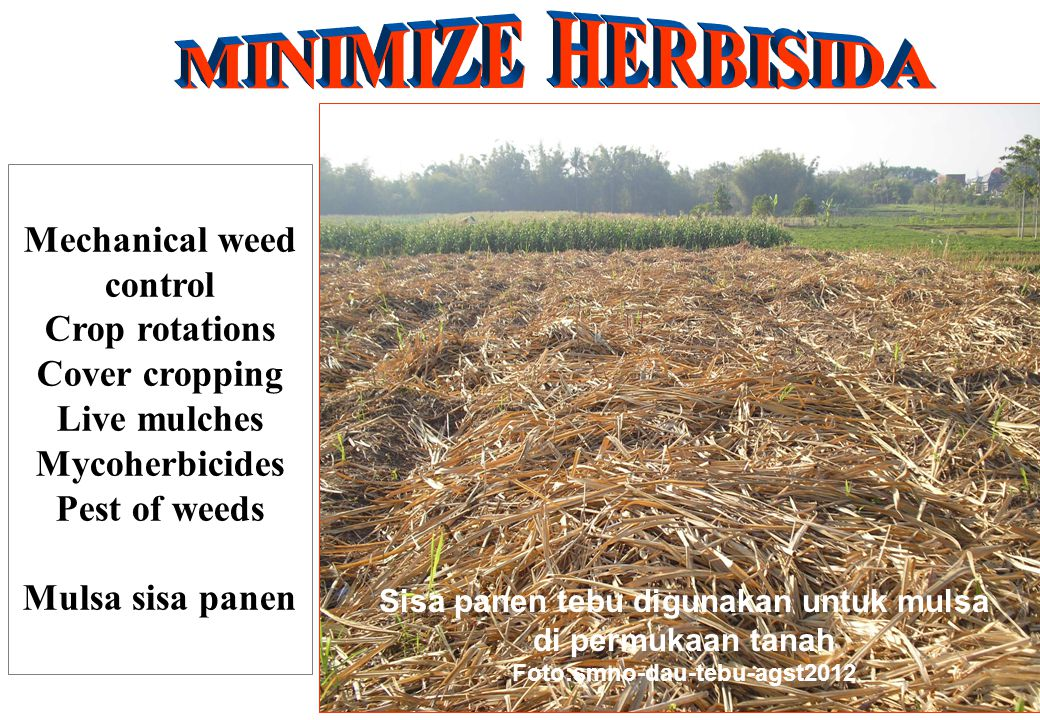 Mechanical weed control Crop rotations Cover cropping Live mulches Mycoherbicides Pest of weeds Mulsa sisa panen Sisa panen tebu digunakan untuk mulsa