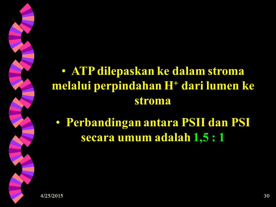 4/25/201530 ATP dilepaskan ke dalam stroma melalui perpindahan H+ H+ dari lumen ke stroma Perbandingan antara PSII dan PSI secara umum adalah 1,5 : 1