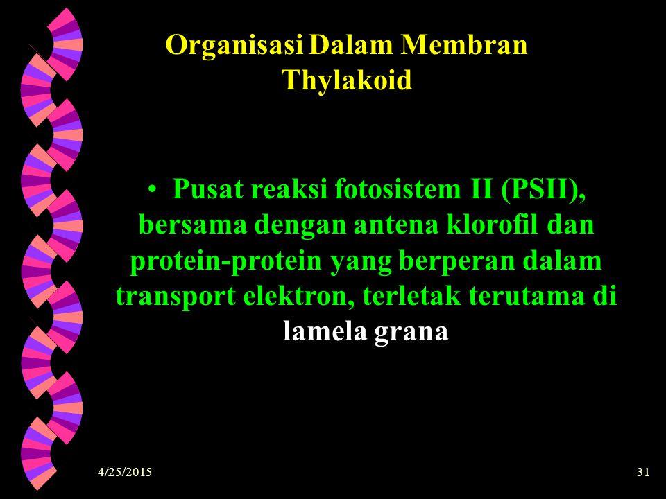 4/25/201531 Organisasi Dalam Membran Thylakoid Pusat reaksi fotosistem II (PSII), bersama dengan antena klorofil dan protein-protein yang berperan dal