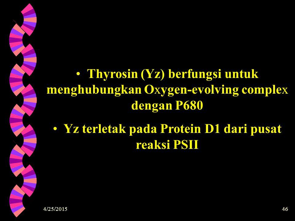 4/25/201546 Thyrosin (Yz) berfungsi untuk menghubungkan Oxygen-evolving complex dengan P680 Yz terletak pada Protein D1 dari pusat reaksi PSII