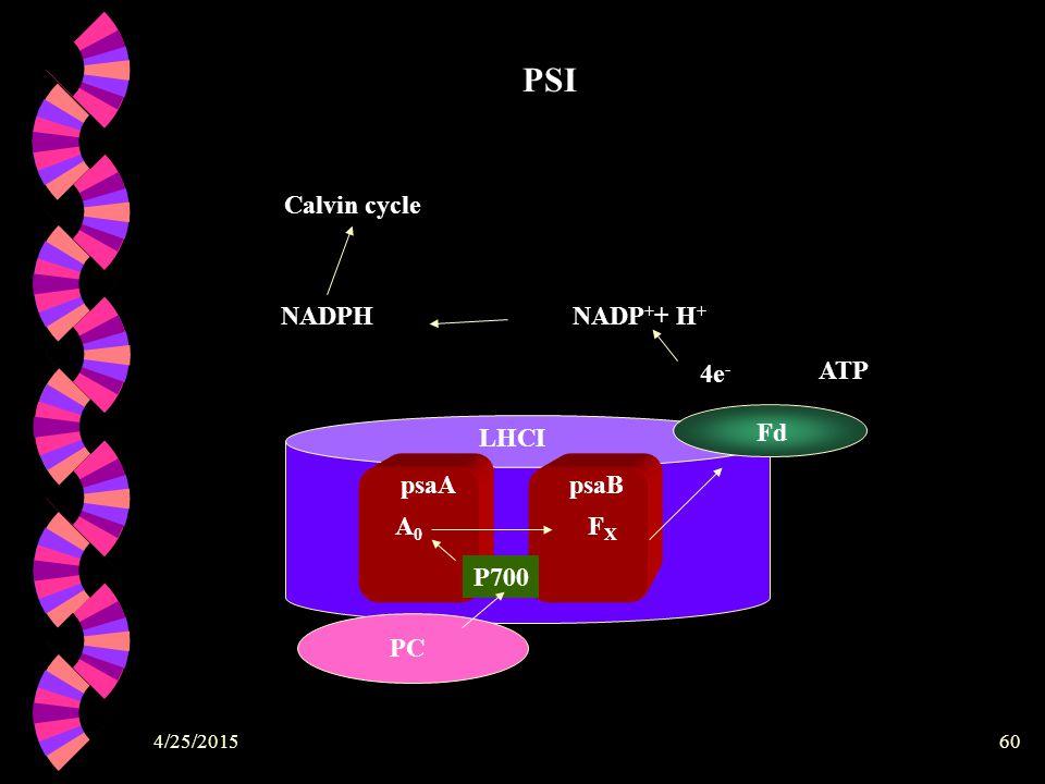 4/25/201560 LHCI psaB psaApsaB PC P700 A0A0 FXFX Fd 4e - NADP + + H + NADPH ATP Calvin cycle PSI