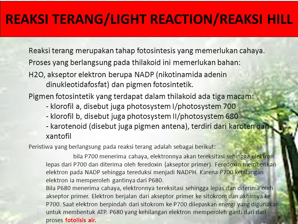 REAKSI TERANG/LIGHT REACTION/REAKSI HILL Reaksi terang merupakan tahap fotosintesis yang memerlukan cahaya. Proses yang berlangsung pada thilakoid ini