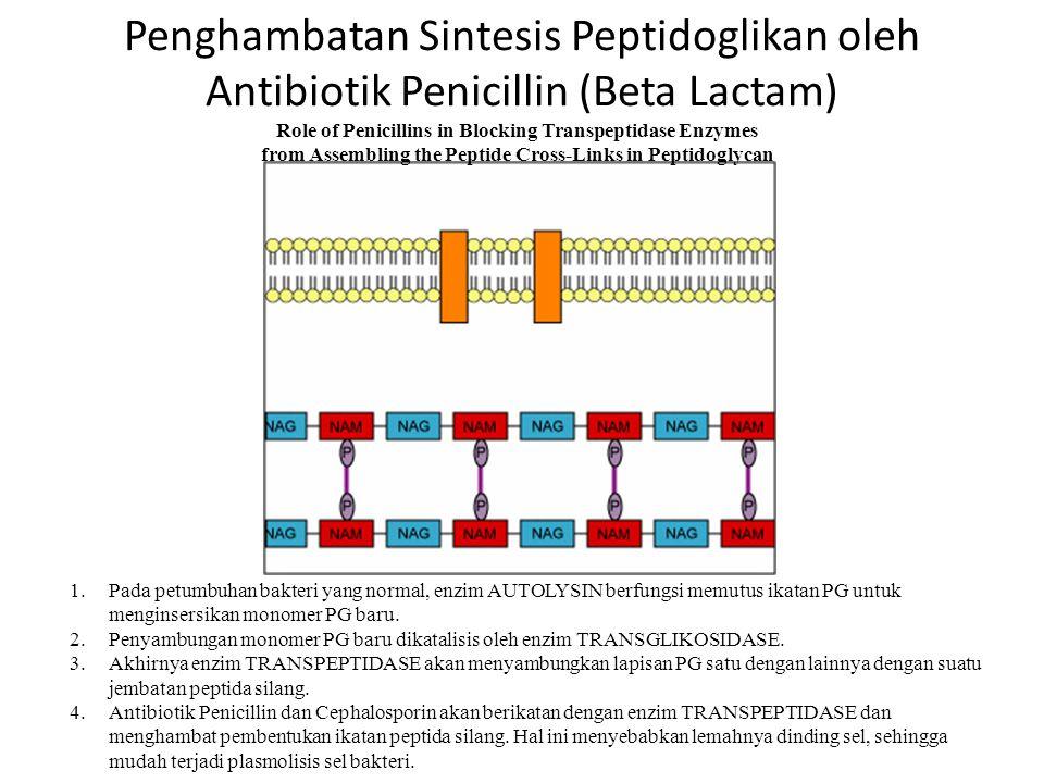 Sintesis Peptidoglikan 1.Monomer peptidoglican disintesis di Sitosol tempat mereka menempel dengan suatu molekul carrier membran yang disebut BACTOPRE