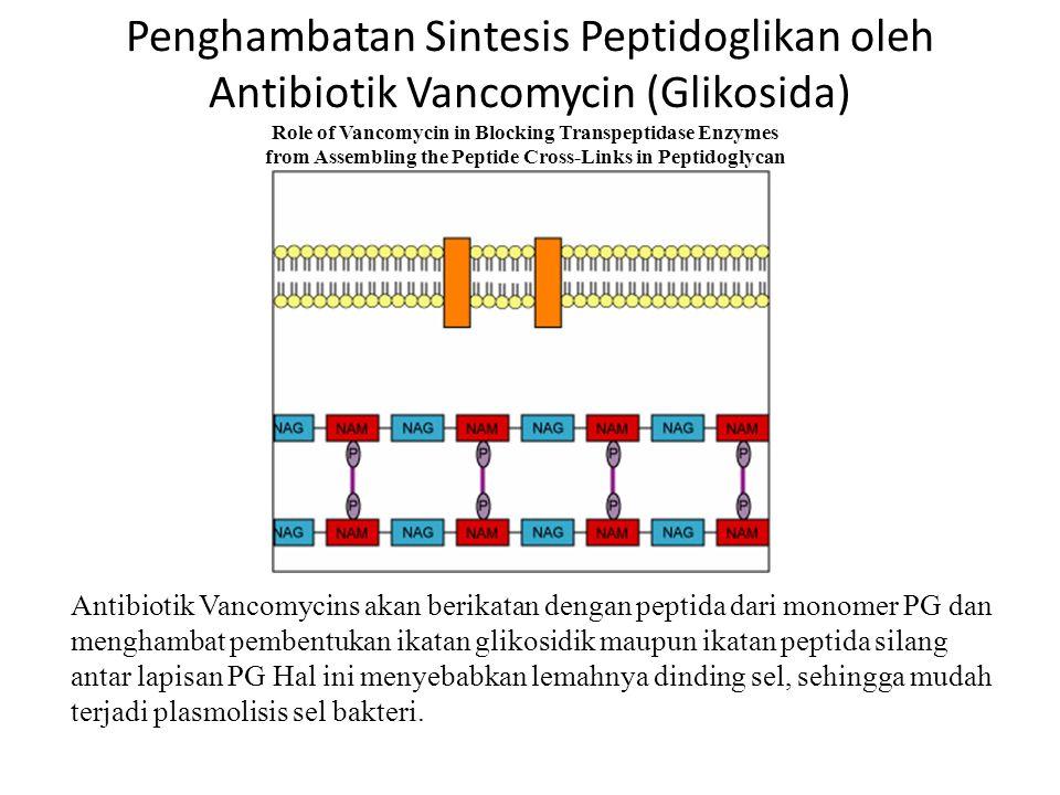 Penghambatan Sintesis Peptidoglikan oleh Antibiotik Penicillin (Beta Lactam) 1.Pada petumbuhan bakteri yang normal, enzim AUTOLYSIN berfungsi memutus