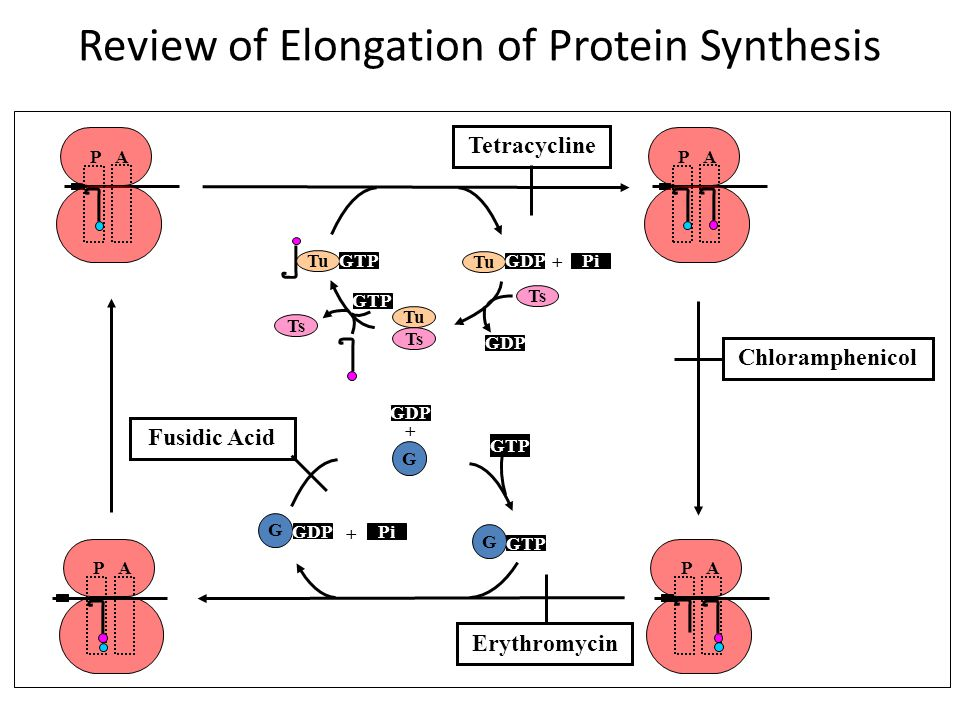 Review of Initiation of Protein Synthesis 30S 1 3 2 GTP 123 Initiation Factors mRNA 3 1 2 GTP 30S Initiation Complex f-met-tRNA Spectinomycin Aminogly