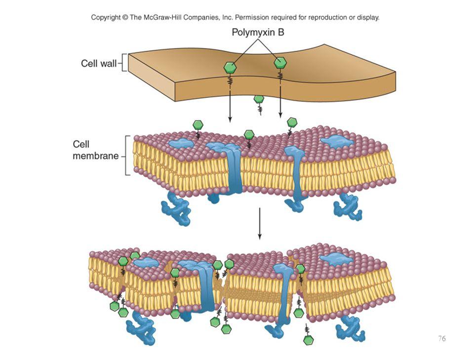 4. Merusak fungsi membran sel Kerusakan pada membran sel akan menyebabkan lisis Antibiotik mempunyai spesifitas terhadap kelompok bakteri berdasar per